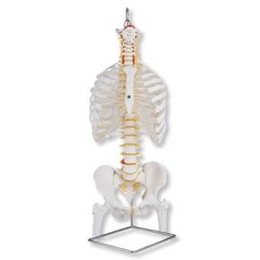 Klassische flexible Wirbelsäule mit Brustkorb und Oberschenkel - Stümpfen