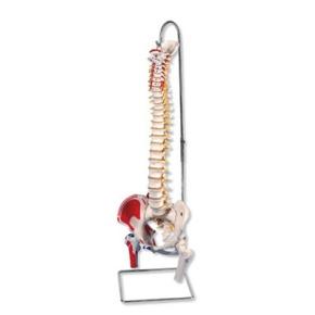 Bemalte klassische flexible Wirbelsäule, mit Muskeldarstellung
