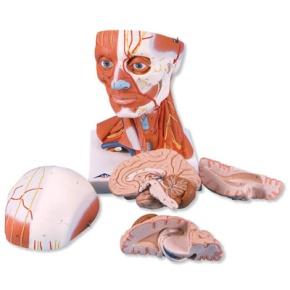 Muskelkopf, 5-teilig