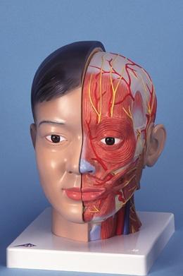 Asiatischer Kopf mit Hals, 4-teilig