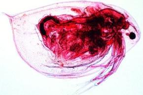 Mikropräparat - Daphnia, Wasserfloh, total