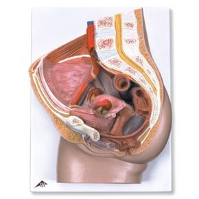 Weibliches Becken, 2-teilig