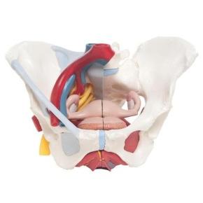 Weibliches Becken mit Bändern, Gefäßen, Nerven, Beckenboden