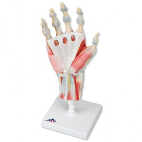 Modell des Handskeletts mit Bändern und Muskeln