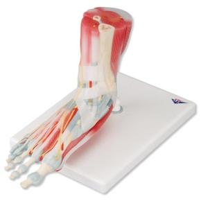 Modell des Fußskeletts mit Bändern und Muskeln