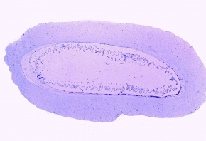 Mikropräparat - Ascidie, Seescheide, Kiemendarmregion quer