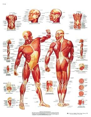 Anatomische Lehrtafel, Die Menschliche Muskulatur