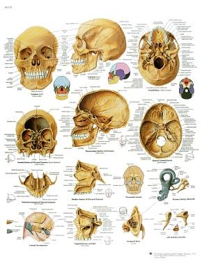 Anatomische Lehrtafel, Der menschliche Schädel