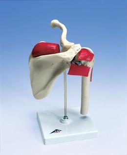 Sport-Schulter. Naturabguss